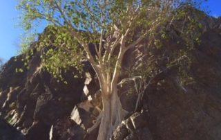 Lush Tree in Loreto